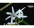 dendrobium moniliforme currlin orchideen