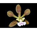 Encyclia tampensis (Currlin Orchideen)
