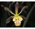 Encyclia alata (Currlin Orchideen)