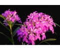 Epidendrum centropetalum (Currlin Orchideen)