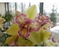Cymbidium Isle 'Flamingo Three Lips' (Currlin Orchideen)
