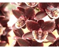 Fredclarkeara After Dark 'SVO Black Cherry'