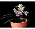 Holcostylis M S Sunlight (Currlin Orchideen)