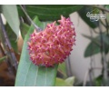 Hoya bordenii cf. von Currlin Orchideen