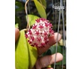 Hoya erythrostemma 'New' (Currlin Orchideen)