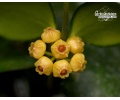 Hoya heuschkeliana 'Yellow' von Currlin Orchideen