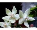 Hoya imperialis 'White' von Currlin Orchideen
