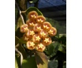 Hoya kloppenburgii (Currlin Orchideen)