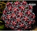 Hoya pubicalyx 'Black Dragon'