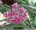 Hoya pubicalyx 'Splash leaves' von Currlin Orchideen