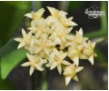 hoya_rintzii_yellow_flowers