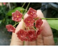 Hoya siariae 'Red flowers' (Currlin Orchideen)