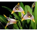 Masdevallia striatella (Currlin Orchideen)