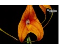 Masdevallia Copper Angel (Currlin Orchideen)
