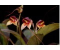 masdevallia nidifica currlin orchideen