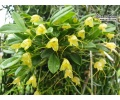 masdevallia nidifica yellow currlin orchideen