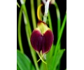 masdevallia sceptrum currlin orchideen