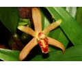 Maxillaria rufescens (Currlin Orchideen)
