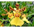 Oncidium Honey Bee (Currlin Orchiddeen)