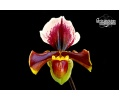 paphiopedilum_lancer_currlin_orchideen