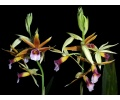 Phaius tankervilleae (Currlin Orchideen)
