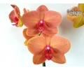 Phalaenopsis Asian Sun (Currlin Orchideen)