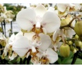 phalaenopsis_brother_pico_chip_currlin_orchideen
