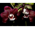 Phalaenopsis Chocolate Flavour (Currlin Orchideen)