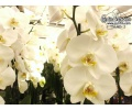 Phalaenopsis Dame Blanche (Currlin Orchideen)