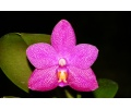 Phalaenopsis Ember 'Yaphon' (Currlin Orchideen)
