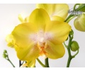 Phalaenopsis Golden Treasure (Currlin Orchideen)