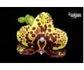 Phalaenopsis Haur Jin Princess (Currlin Orchideen)
