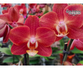 Phalaenopsis Horizon - Currlin Orchideen