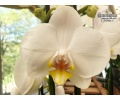 phalaenopsis hybride white currlin orchideen