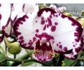 Phalaenopsis LECO Purple Edge (Currlin Orchideen)