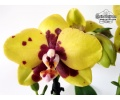 Phalaenopsis LECO Yellow Wax (Currlin Orchideen)