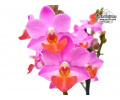 Phalaenopsis Liu's Cute Angel von Currlin Orchideen