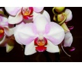 phalaenopsis mymonro make-up currlin orchideen