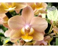 Phalaenopsis Smell Me 'Cream' (Currlin Orchideen)