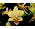 phalaenopsis sunny smell currlin orchideen