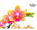 Phalaenopsis The Rising Sun - Currlin Orchideen