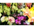 Phalaenopsis Hybride - Farbe unserer Wahl (Currlin Orchideen)