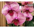 phalaenopsis_younghome_golden_leopard_currlin_orchideen