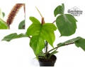 philodendron squamiferum currlin orchideen