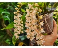 Pholidota chinensis - Currlin Orchideen