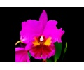 rhyncholaeliocattleya king of taiwan currlin orchideen