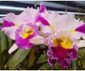Rhyncholaeliocattleya Patchara Fancy (Currlin Orchideen)