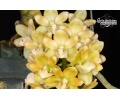 Rhynchostylis gigantea 'Yellow' (Currlin Orchideen)