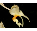 Stanhopea embreei (Currlin Orchideen)