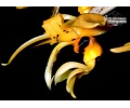 stanhopea_ospinae